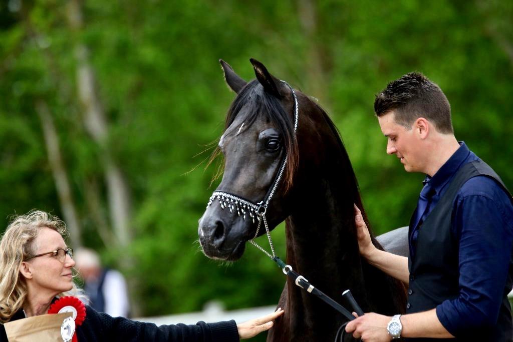 Black Arabian Horse - Rafiq and Merete