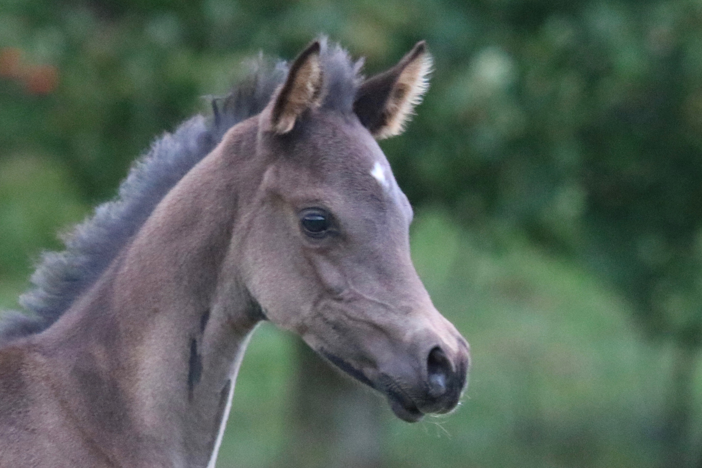 Black arabian foal, filly, arab horse