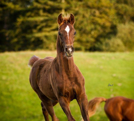 Red colt, arabian stallion