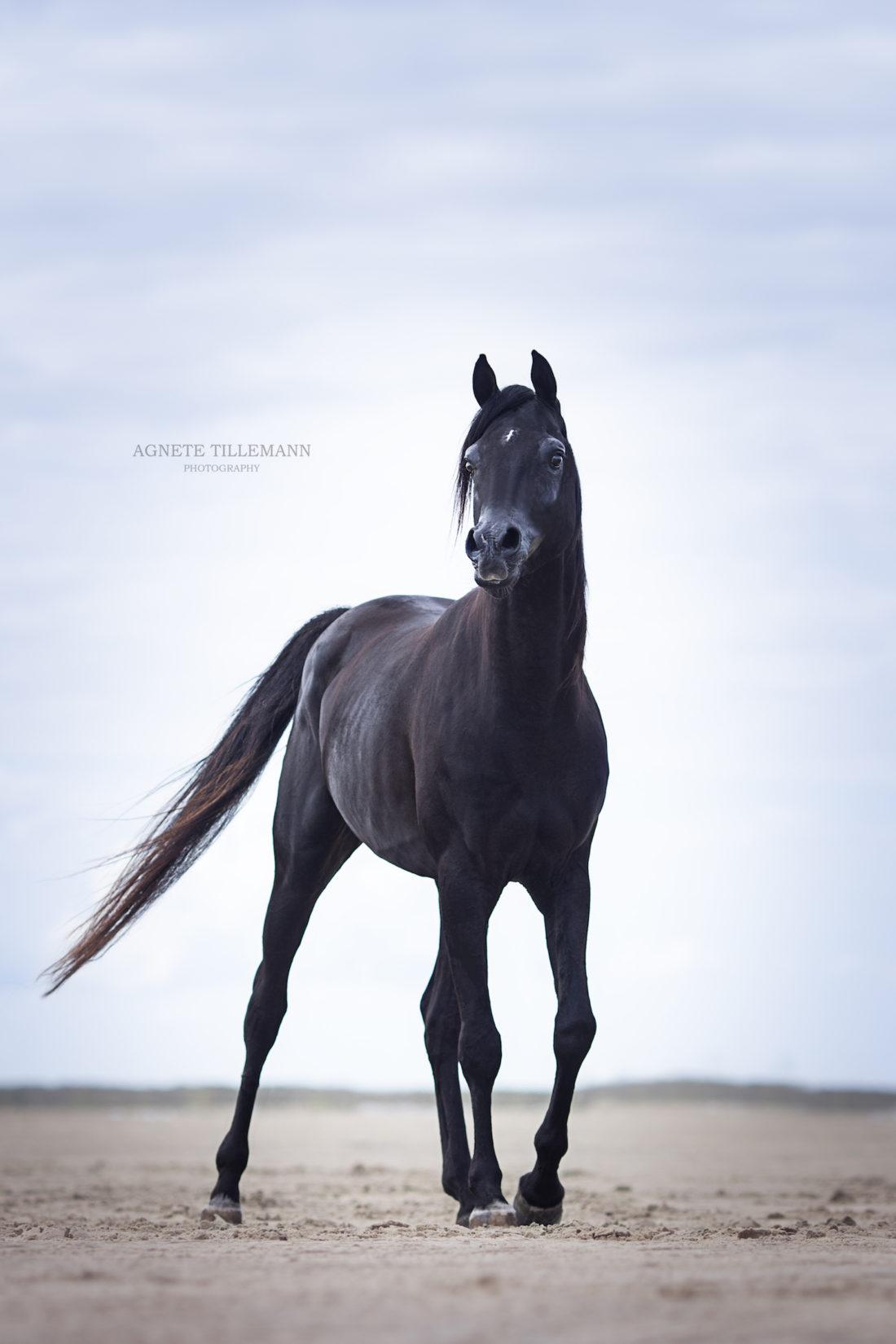 Aaleyah Black Arabians Black Arabian Mare